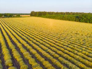Φυτώριο ελίχρυσου - Φυτά ελίχρυσου