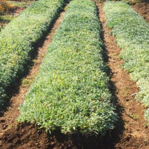 Sage Nursery & Agiannis Sage Nursery