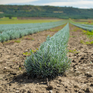 Lavender Nursery - Lavender Plants