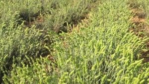 Φυτώριο τσάι του βουνού - Φυτά τσάι του βουνού