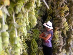 Χονδρικό εμπόριο αρωματικών φυτών