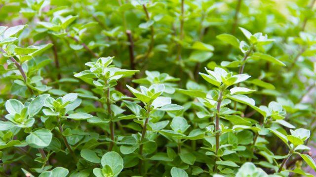 Φυτώριο Ρίγανης